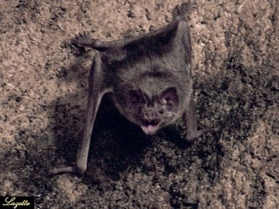 Essay:Vampire Animals
